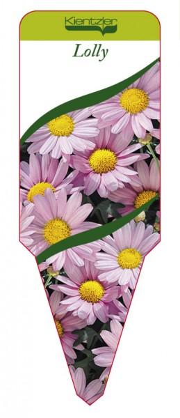 Argyranthemum Hybr. 'Lolly'