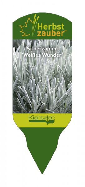 Helichrysum™ 'Weisses Wunder'
