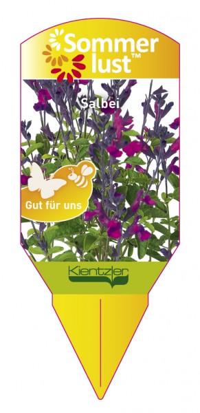 Salvia x jamensis Ignition 'Purple'