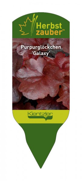 Heuchera Hybride 'Galaxy'