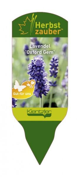 Lavandula angustifolia 'Oxford Gem'