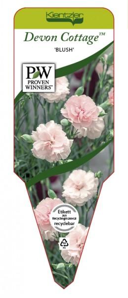 Dianthus Devon Cottage™ 'Blush'