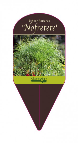 Cyperus papyrus 'Nofretete'