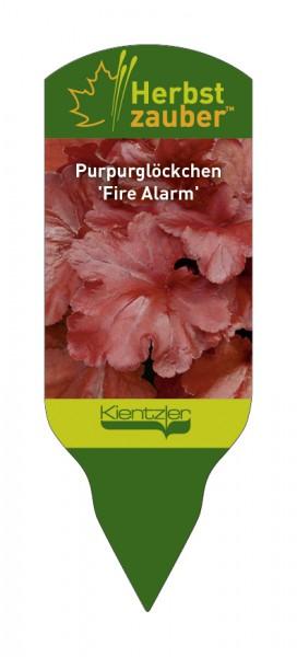 Heuchera Hybride 'Fire Alarm'