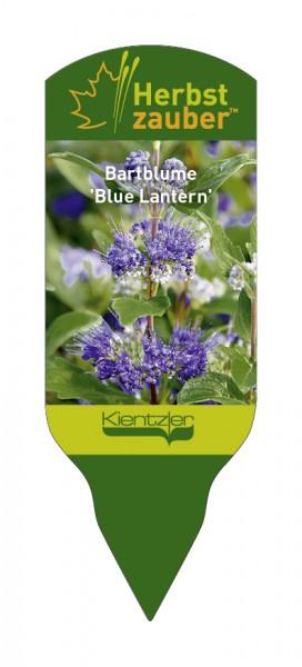 Caryopteris x clandonensis 'Blue Lantern'