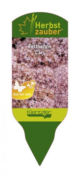 Sedum Hybride 'Carl'