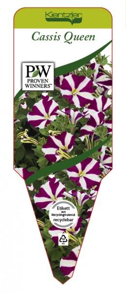 Petunia Hybrid 'Cassis Queen'