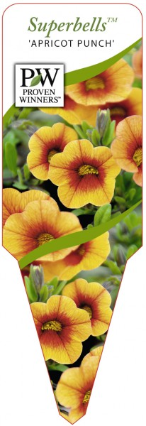 Calibrachoa Hybr. Superbells™ 'Apricot Punch'