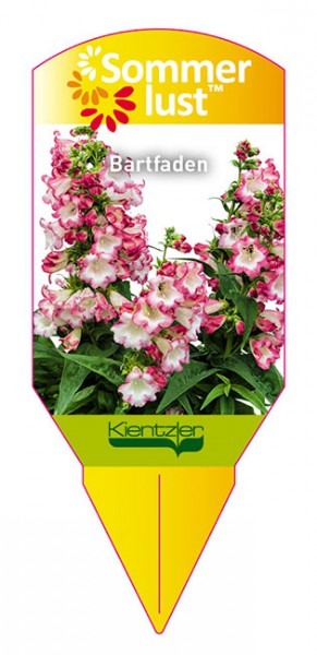 Penstemon Pentastic 'Rose'