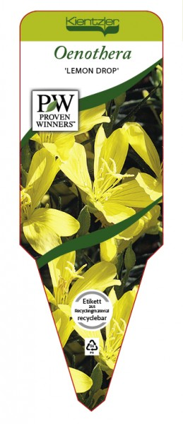 Oenothera Hybr. 'Lemon Drop'