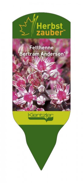 Sedum Hybride 'Bertram Anderson'