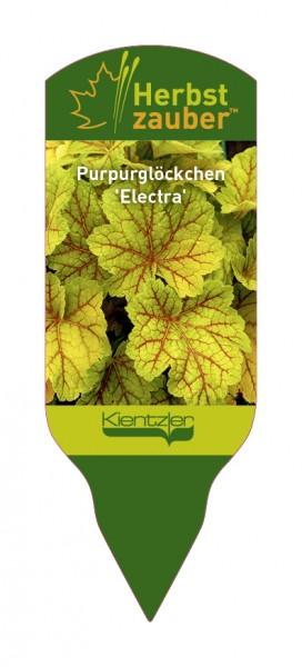 Heuchera Hybride 'Electra'