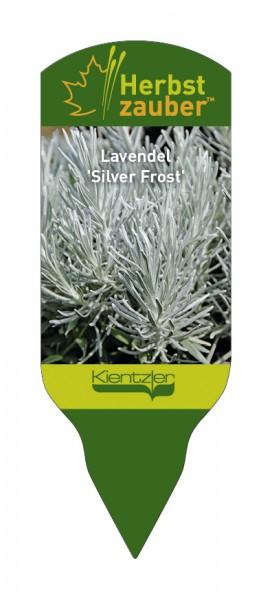 Lavandula x chaytorae 'Silver Frost'