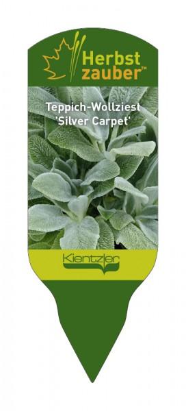 Stachys byzantina 'Silver Carpet'