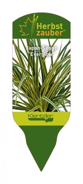 Carex morrowii 'Everglow'