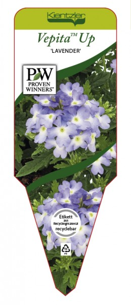 Verbena VEPITA™ Up 'Lavender'