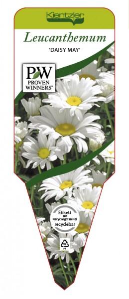 Leucanthemum x superbum 'Daisy May'