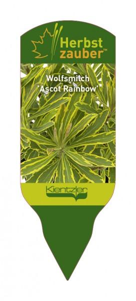 Euphorbia Hybride 'Ascot Rainbow'