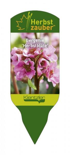 Bergenia Hybride 'Herbstblüte'