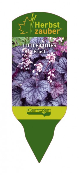 Heuchera 'Little CUTTIES Frost'