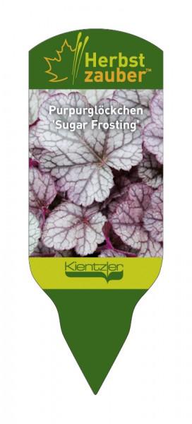 Heuchera Hybride 'Sugar Frosting'