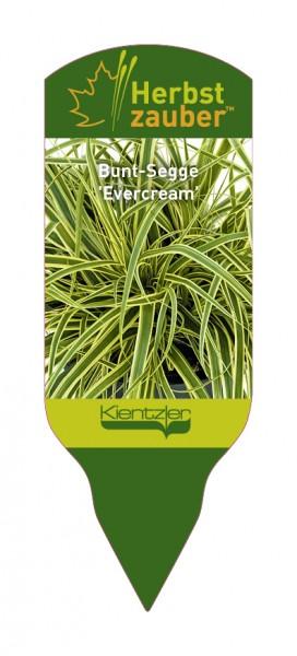 Carex oshimensis 'Everceam'