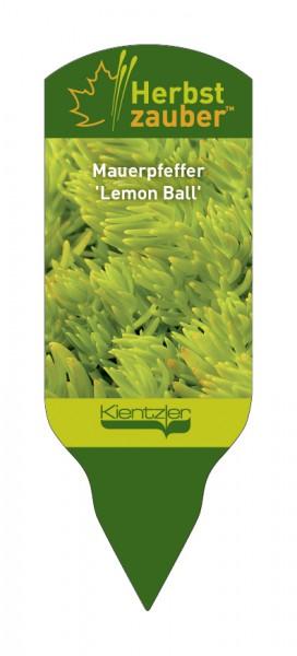 Sedum Hybride 'Lemon Ball'