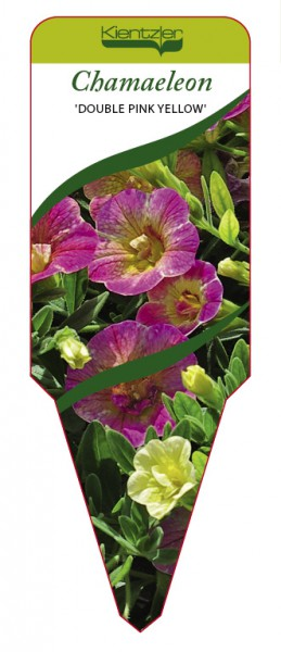 Calibrachoa Hybr. CHAMAELEON 'Double Pink Yellow'