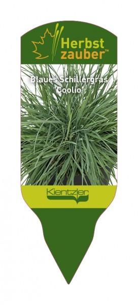 Koeleria glauca 'Coolio'