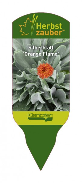 Senecio 'Orange Flame'