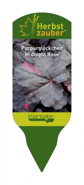 Heuchera Hybride 'Midnight Rose'