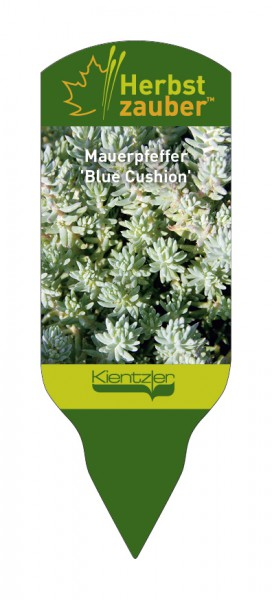 Sedum reflexum 'Blue Cushion'