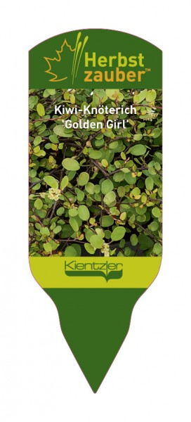 Mühlenbeckia complexa 'Golden Girl'