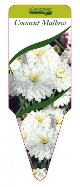 Argyranthemum Hybr. 'Coconut Mallow'