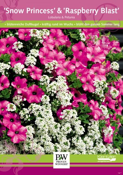 Poster Proven Winners Lobularia 'Snow Princess' / Petunia 'Raspberry Blast'