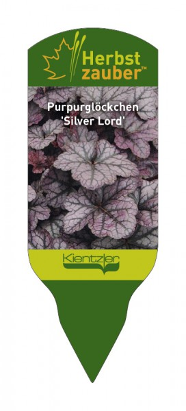 Heuchera Hybride 'Silver Lord'