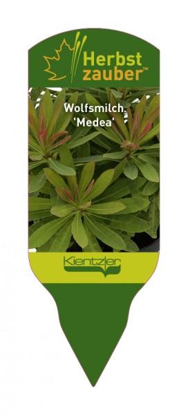 Euphorbia Hybride 'Medea'