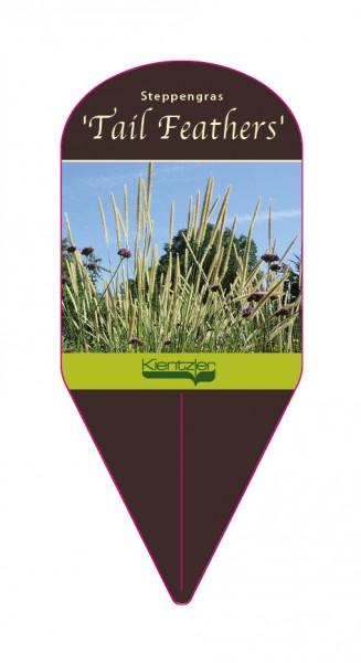 Pennisetum macruorum 'Tail Feathers'