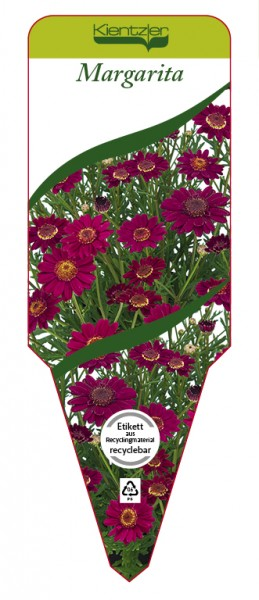 Argyranthemum Hybr. 'Margarita'