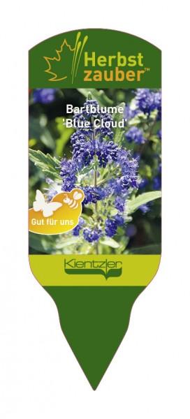 Caryopteris x clandonensis 'Blue Cloud'
