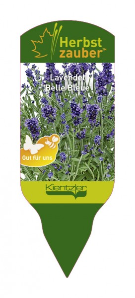 Lavandula angustifolia 'Belle Bleue'