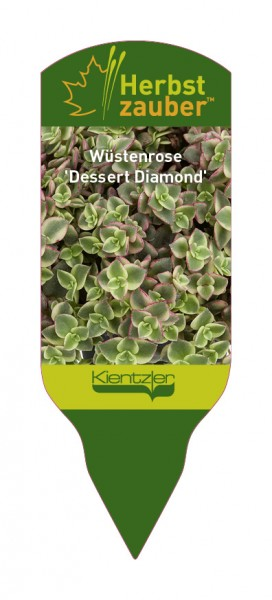 Crassula pellucida 'Dessert Diamond'