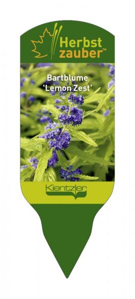 Caryopteris x clandonensis 'Lemon Zest'