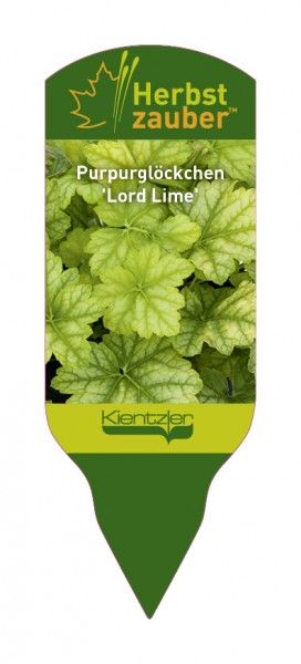 Heuchera Hybride 'Lord Lime'