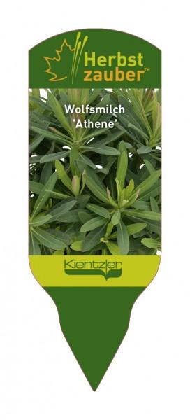 Euphorbia Hybride 'Athene'