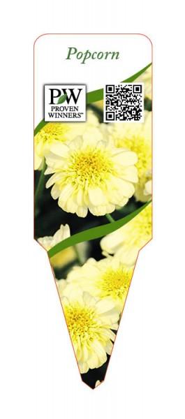Argyranthemum Hybr. 'Popcorn'
