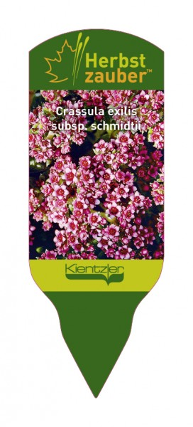 Crassula exilis 'subsp. Schmidtii'