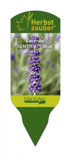 Lavandula angustifolia SENTIVIA 'Blue'