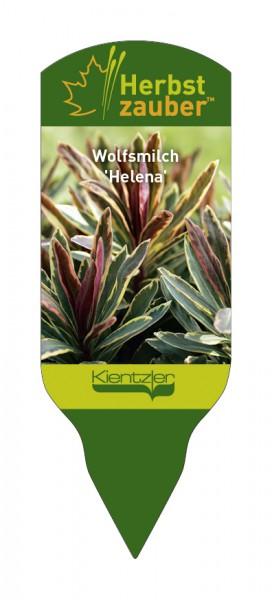 Euphorbia Hybride 'Helena'