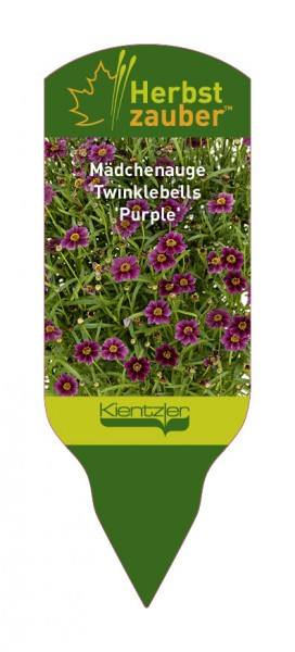 Coreopsis rosea Twinklebells 'Purple'